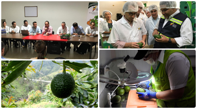 foto-collage-ICA-aguacate-Hass.jpg