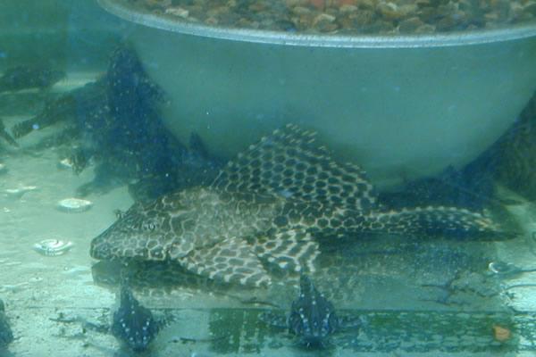 Instituto colombiano agropecuario ica for Reproduccion de peces ornamentales