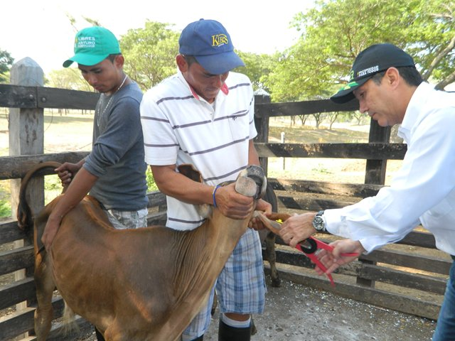 The ICA advances in the identification of cattle in the country