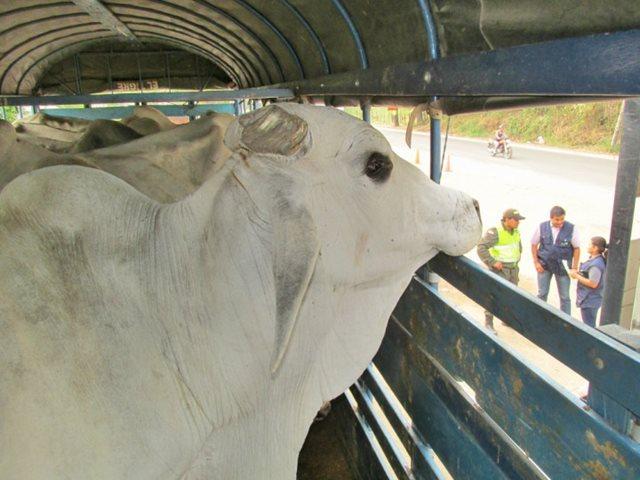 Foto de ganado incautado