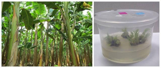 El ICA trabaja con entidades de investigación y la empresa privada para el fortalecimiento de los cultivos de banano y plátano en el país
