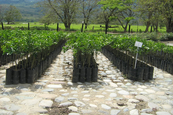Instituto colombiano agropecuario ica for Viveros de arboles frutales en concepcion