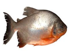 La cachama pescador deportivo for Pez cachama