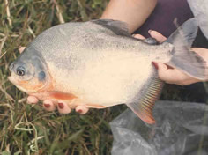 Reproduccion de pez limpia fondos corydoras paleatus for Pez cachama